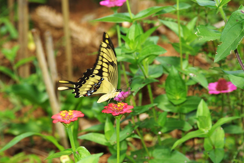 borboleta-brazil2005