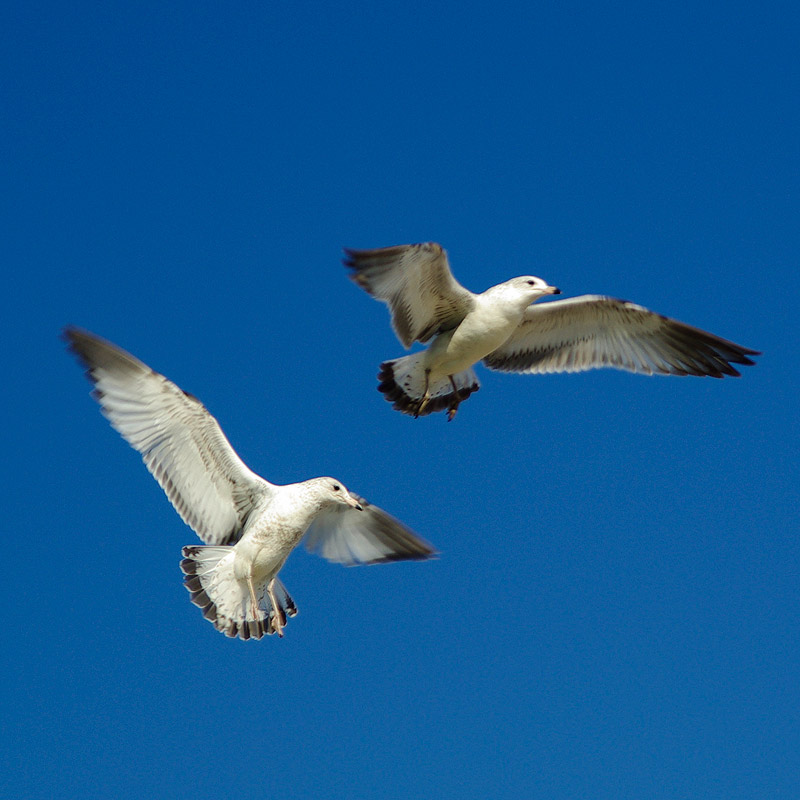 gulls_vactr_mar2009